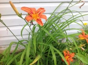 Aunt Pat's Tiger Lilies
