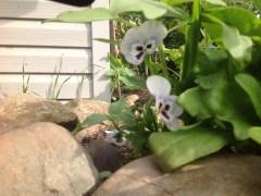 Peek a boo pansies