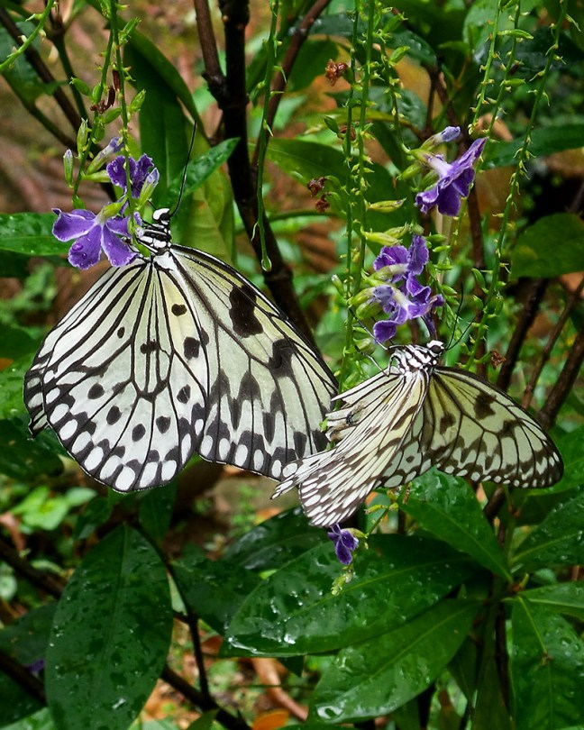 butterflies as pollinators