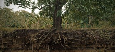 800px-exposed_mango_tree_roots