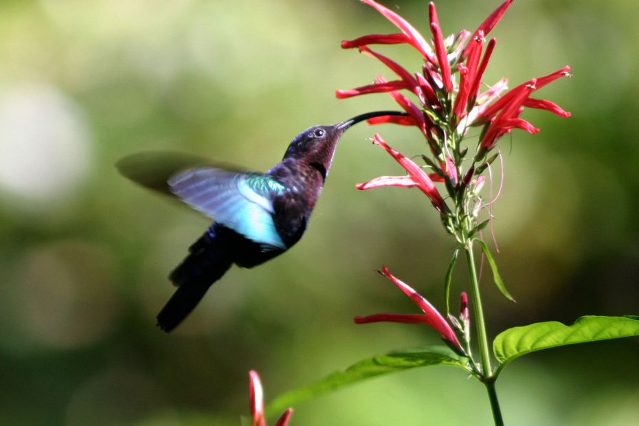 Purple-throated carib feeding at a flower, sharpphotography, CC BY 3.0