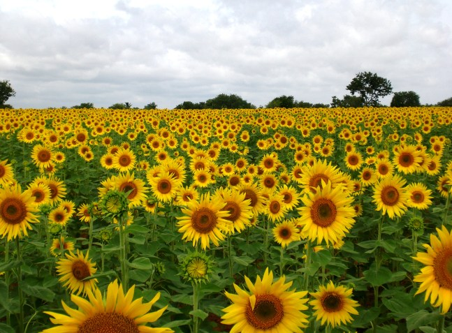 Sunflower field near Mittikellur village, Lingasugur taluk, Raichur district, Karnataka, India Date 1 August 2013, 10:57:30 By MikeLynch [CC BY-SA 3.0 (https://creativecommons.org/licenses/by-sa/3.0)], from Wikimedia Commons