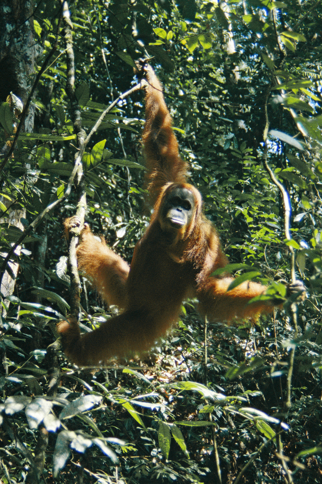An orangutan in Sundaland, one of Earth's Three Green Hearts