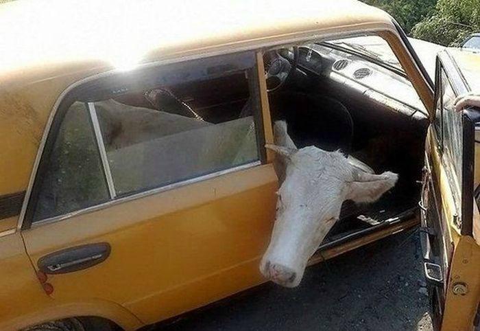 Необычный пассажир. | Фото: Pinterest.