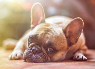 Laziest Dog Breeds