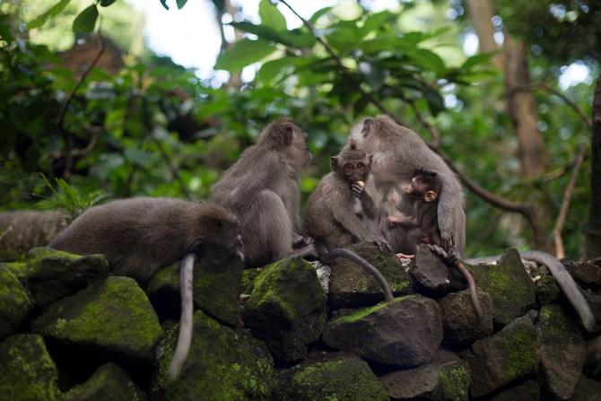Bali_Macaque_Danielle Da Silva