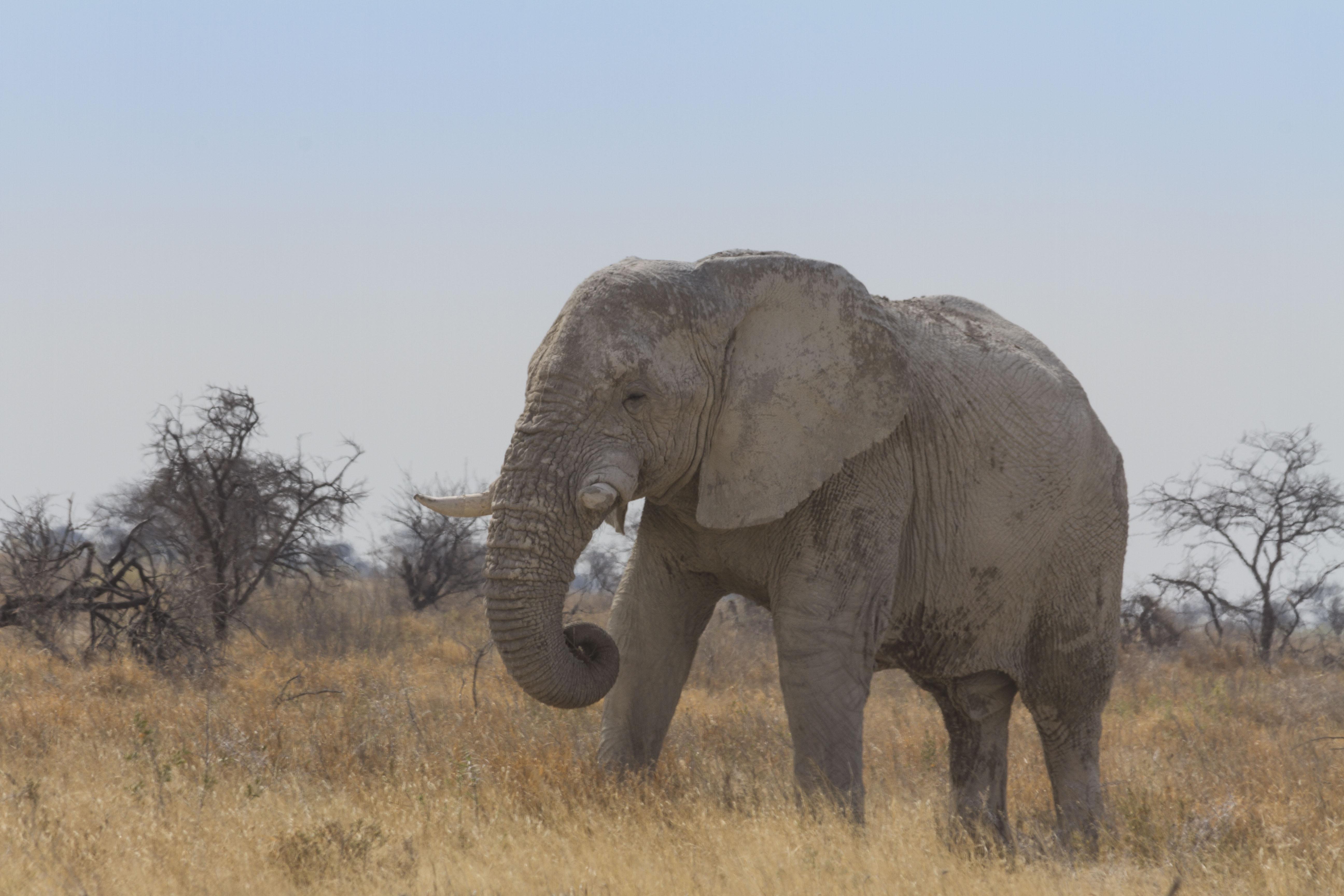 Bull Elephant in Etosha