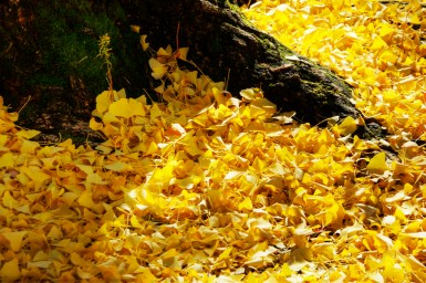 autumn-leaves-golden_carpet_8199054216