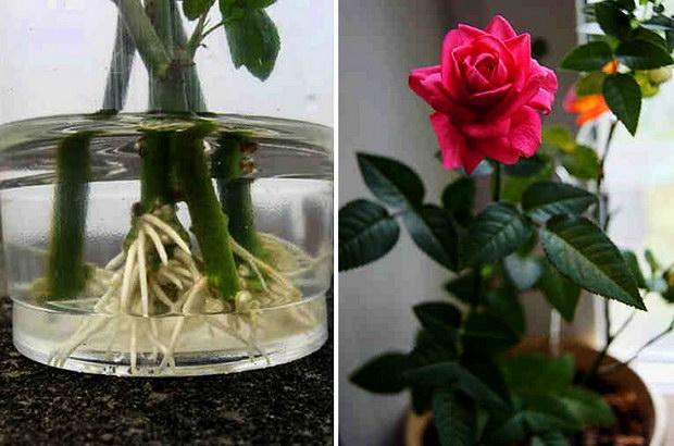 Ето така можете да вкорените роза от букет (нуждаете се от мая или пчелен мед)