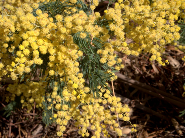The flowering of the wattle marks the end of winter in Australia