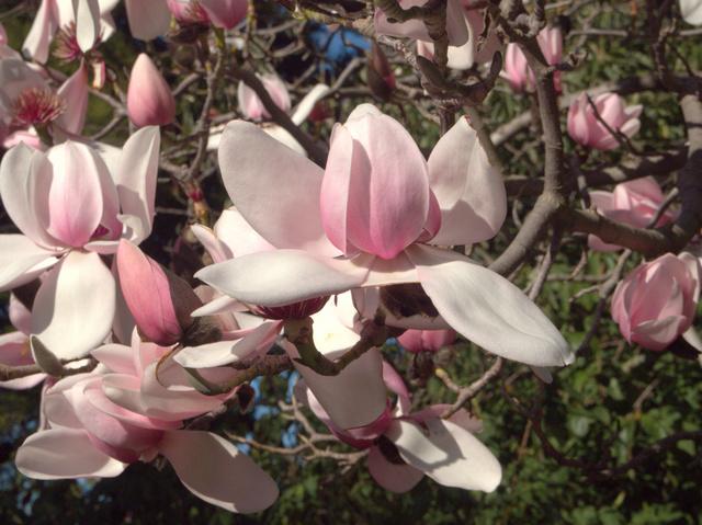 Magnolia blooms, Royal Tasmanian Botanical Gardens