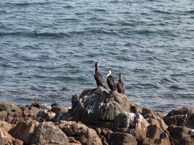 Shags - or cormorants - on a rock