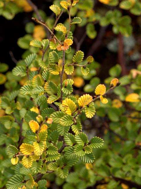 Tasmanian deciduous beech, also known as fagus or botanically as Nothofagus cunninghamii
