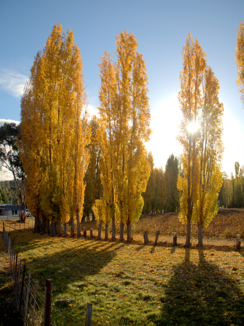 Poplars putting on a good autumn show at Westerway near Mount Field National Park