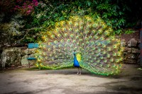 A peacock shakes its tailfeathers at Launceston's Cataract Gorge
