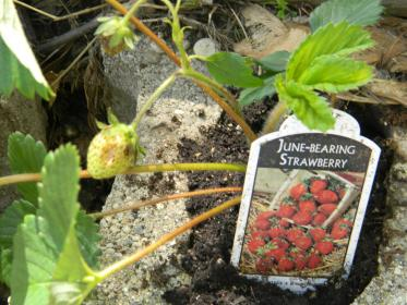 cinder strawberries block urban strawberry farming went tons orchard pick morning always local had favorite