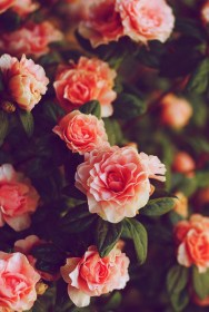 roses flowers rose pink flower pretty floral iphone bg flores heart quote sad most orange rosa colorful pic something