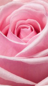 pink rose desktop roses wallpapers iphone aesthetic backgrounds android credit picserio