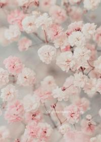 Baby's breath photography, Gypsophila print, flower print