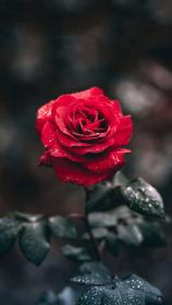 Red rose Flower aesthetic, Photography wallpaper