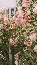 aesthetic pink rose iphone flowers flower phone roses wallpapers plant hd pastel myfavwallpaper cellphone android