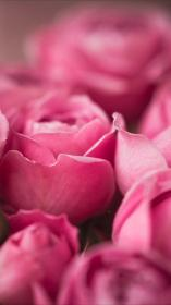 iphone rose flowers roses tap apple itunes wallpapers apps sfondo rosa backgrounds nature pastel teahub io