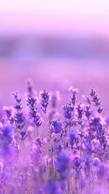 flowers lavender purple flower aesthetic lilac background fields nature ورود meanings pretty lavander بنفسجيه photography parede spring papel flores brilhante