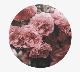 aesthetic circle roses pink cute overlay rose background flower dusty transparent interes seekpng