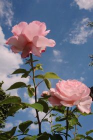 aesthetic rose flowers wallpapers backgrounds wallpaperaccess