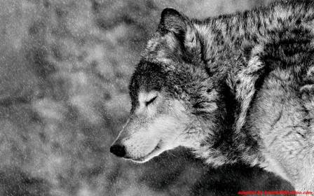 wolf hd wallpapers alpha cave