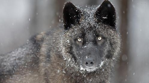 wolf wallpapers snow hd resolution desktop ice quality computer px seavey charolette wallpapercave wallpapersafari collection 1295 visited visits times today