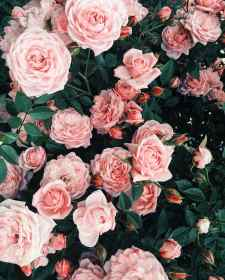 aesthetic pink roses wallpapers aesthetics cave