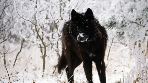 wolf wallpapers cool phone hd backgrounds amazing wallpapertag resolution