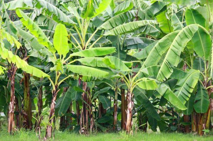 7 Dicas de Sucesso Sobre Como Plantar Banana