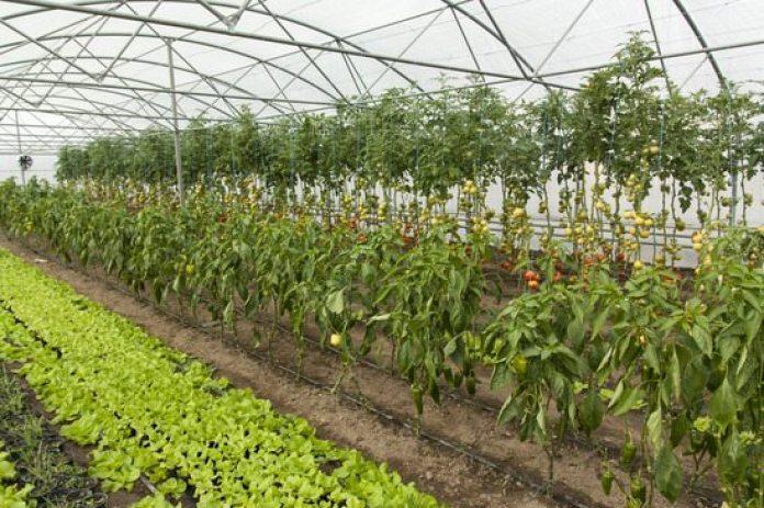 Como Começar Uma Plantação de Pimenta
