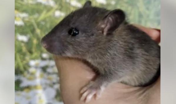 В канун Нового года спрос на живых крыс вырос в 3,5 раза в ...