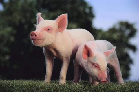 ماذا حلم الخنزير لماذا حلم الخنازير التفسير الدقيق للنوم