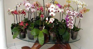 Как из одной орхидеи получить 100? Секреты ухода и размножения