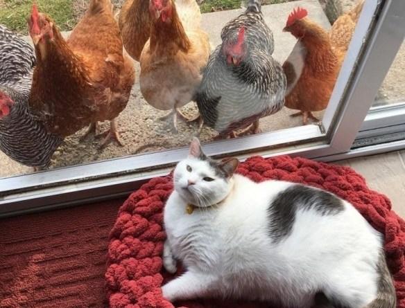 Цыпы не могут устоять перед котом