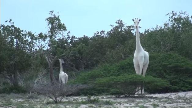 Белых жирафов заметили в Кении
