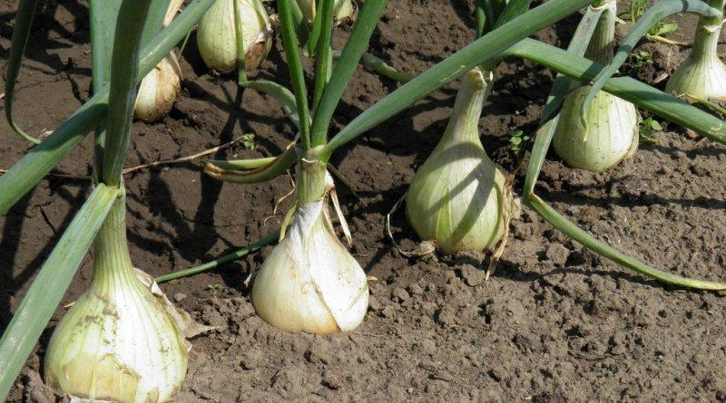 Хотите каждый год получать большие урожаи лука? Вот 4 простых совета