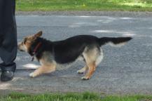 Zvědavý pes