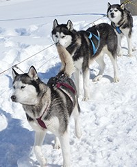 A team of huskies wait outside school for students