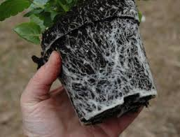 """White roots are healthy. """"Look for plants relatively compact and robust without a bloom,"""" says Finneran."""