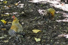 Chickens at Honolua bay