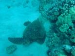 I saw a sea turtle!