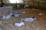 Sheep on the farm, hiding inside from the sun.