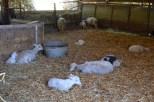 Sheep on the farm, hiding inside from the sun.