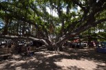 The Big Banyan Tree
