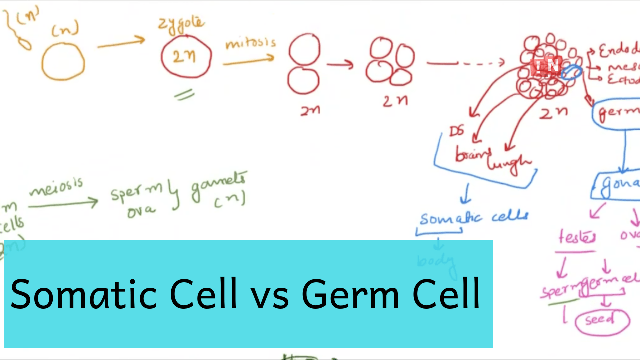 germ cell definition archives - now i know